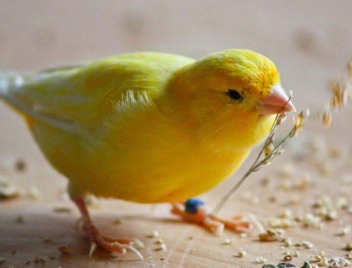 Qué Comen Los Canarios Consejos Miscota