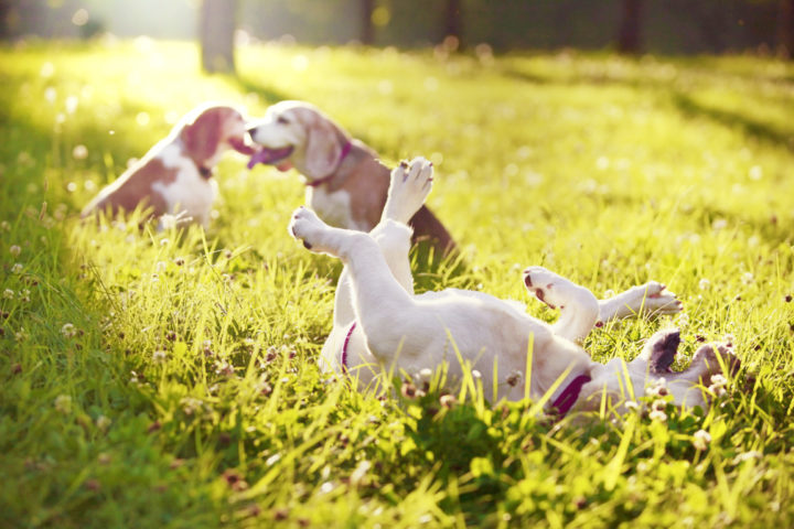 lice in dogs