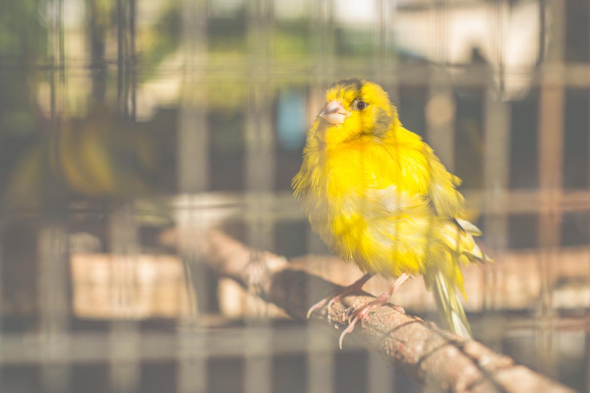 enfermedades de canarios
