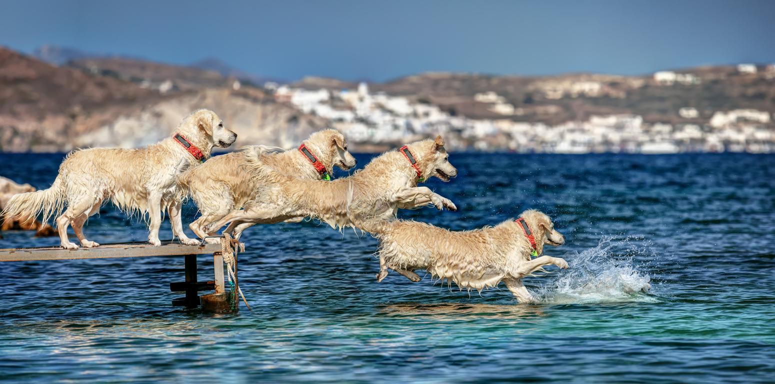 ¿Puede nadar el perro con el collar antiparasitario puesto?