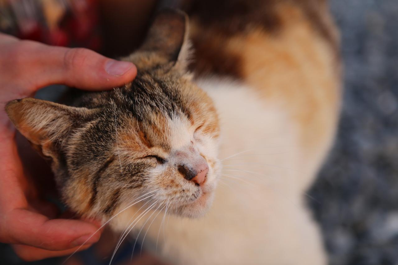 Cómo acariciar un gato para que se duerma - Consejos Miscota