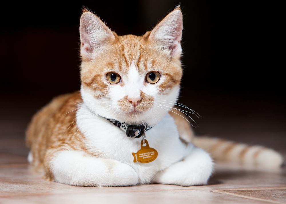collar de un gato