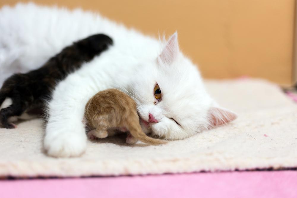 Cómo es el embarazo de las gatas