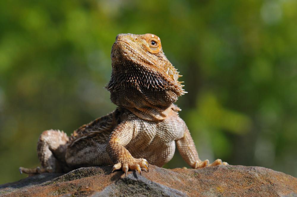 Qué come un dragón barbudo