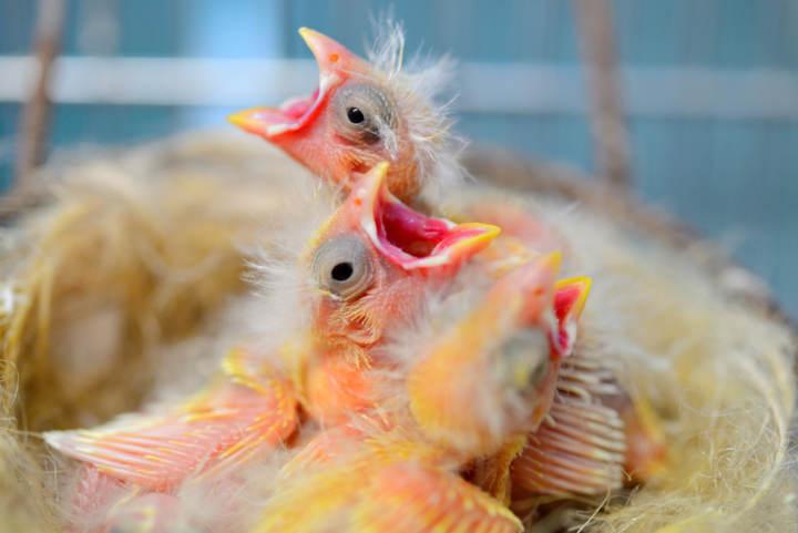 Con Cuántos Días Empiezan A Comer Solos Los Canarios Consejos Miscota
