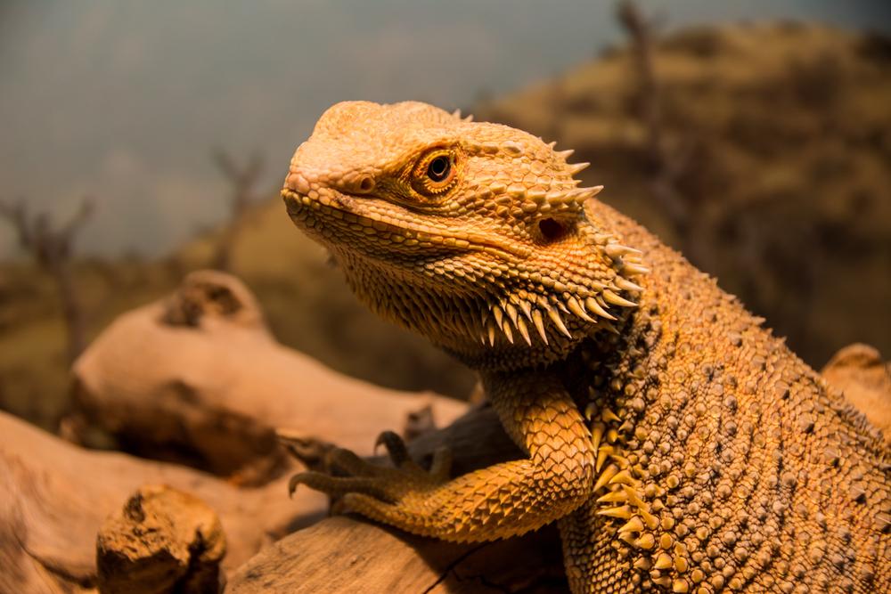 Qué hago si mi dragón no tiene hambre