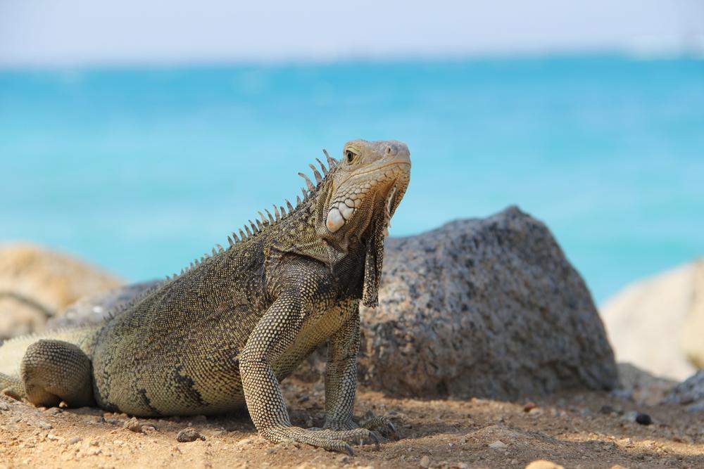 Cuánta agua darle a una iguana adulta