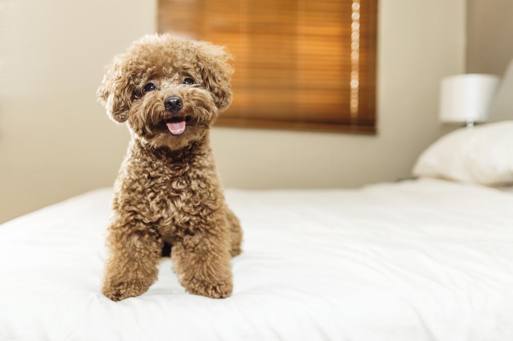 razas de perros más limpias