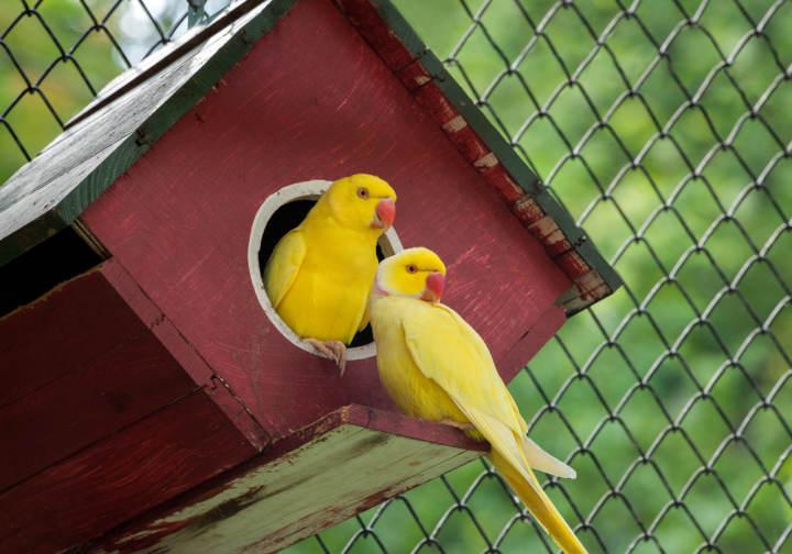 Con cuántos días empiezan a comer solos los canarios