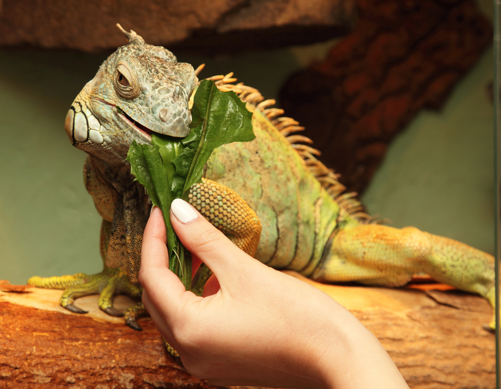 Cuánto debe comer una iguana