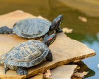 Cuánto tiempo puede estar una tortuga fuera del agua