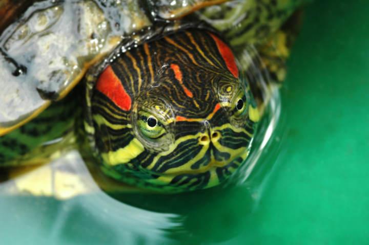 Cada cuanto se cambia el agua de una tortuga de agua dulce