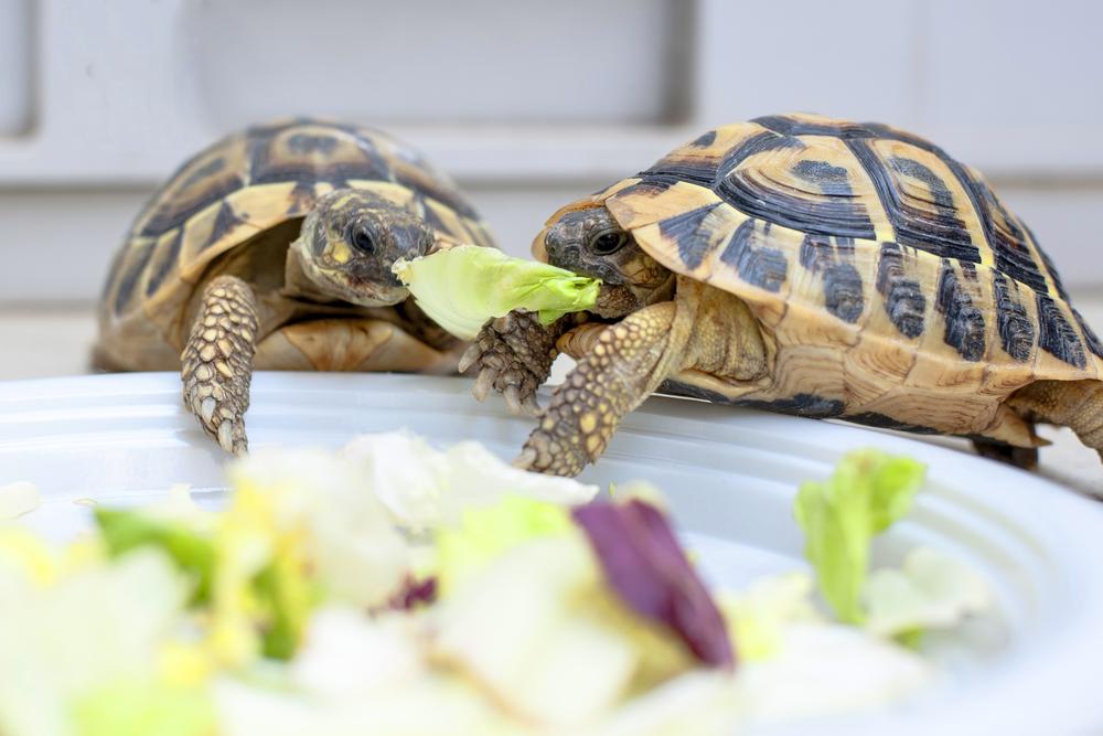 Qué snacks hay para tortugas