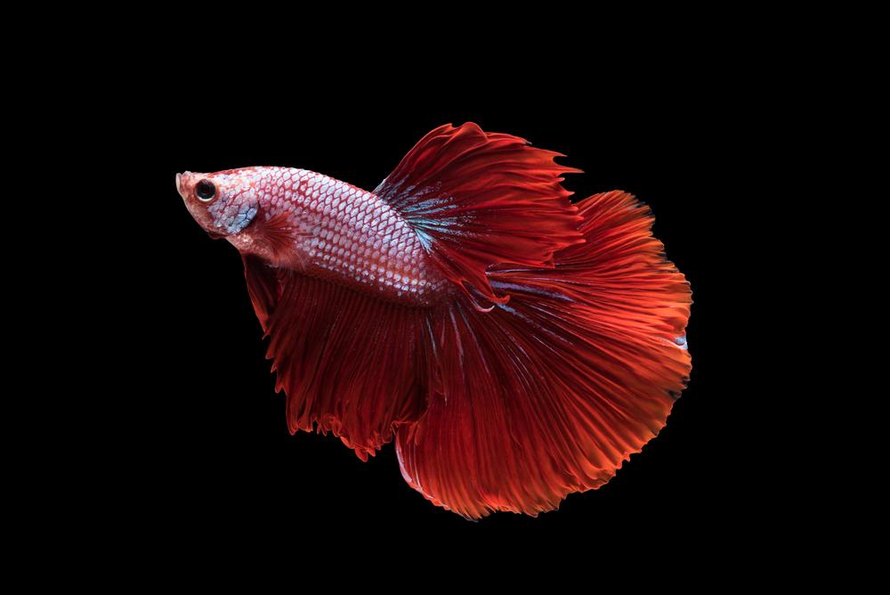 peces domésticos de agua fría