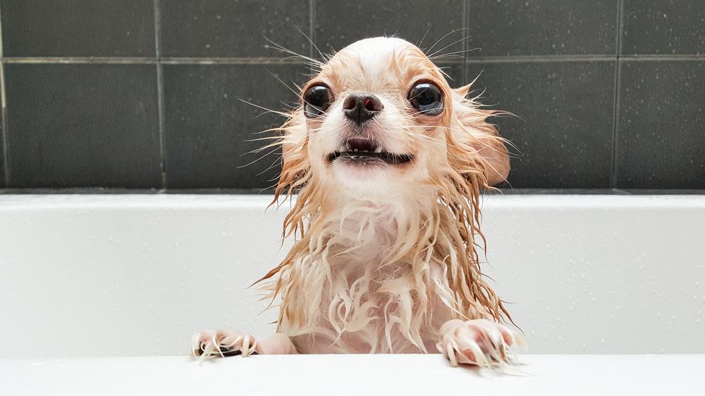 Cuándo se puede bañar un cachorro