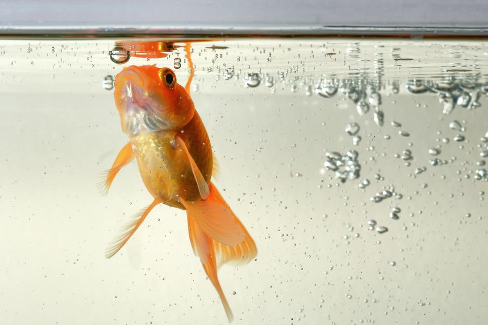Qué comen los peces de agua fría
