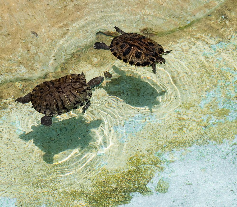 Cómo limpiar el acuario de una tortuga de agua