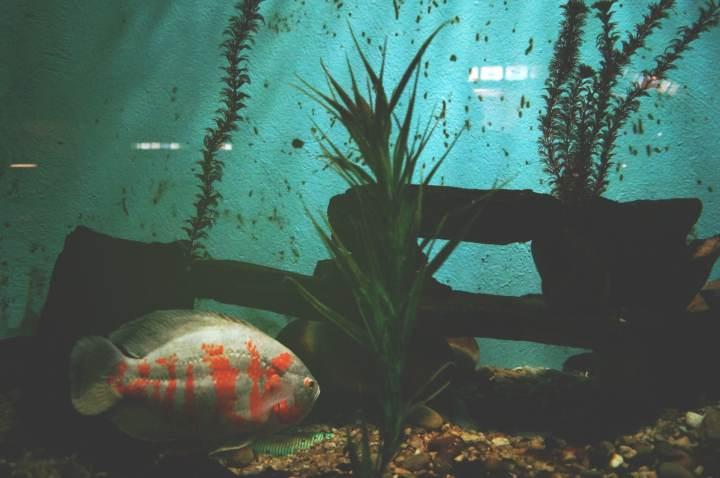 cuando duermen los peces de acuario