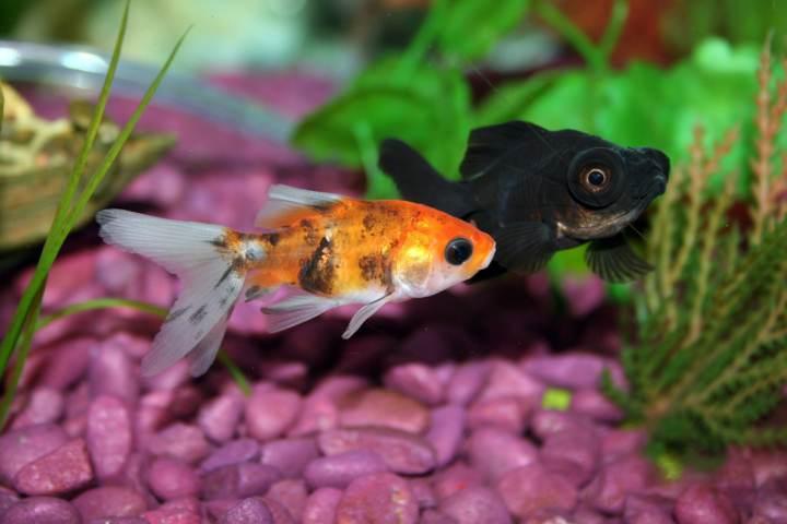 peces de agua dulce para acuario