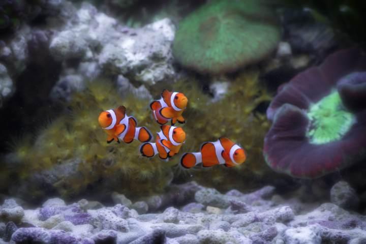 peces come caracoles de acuario