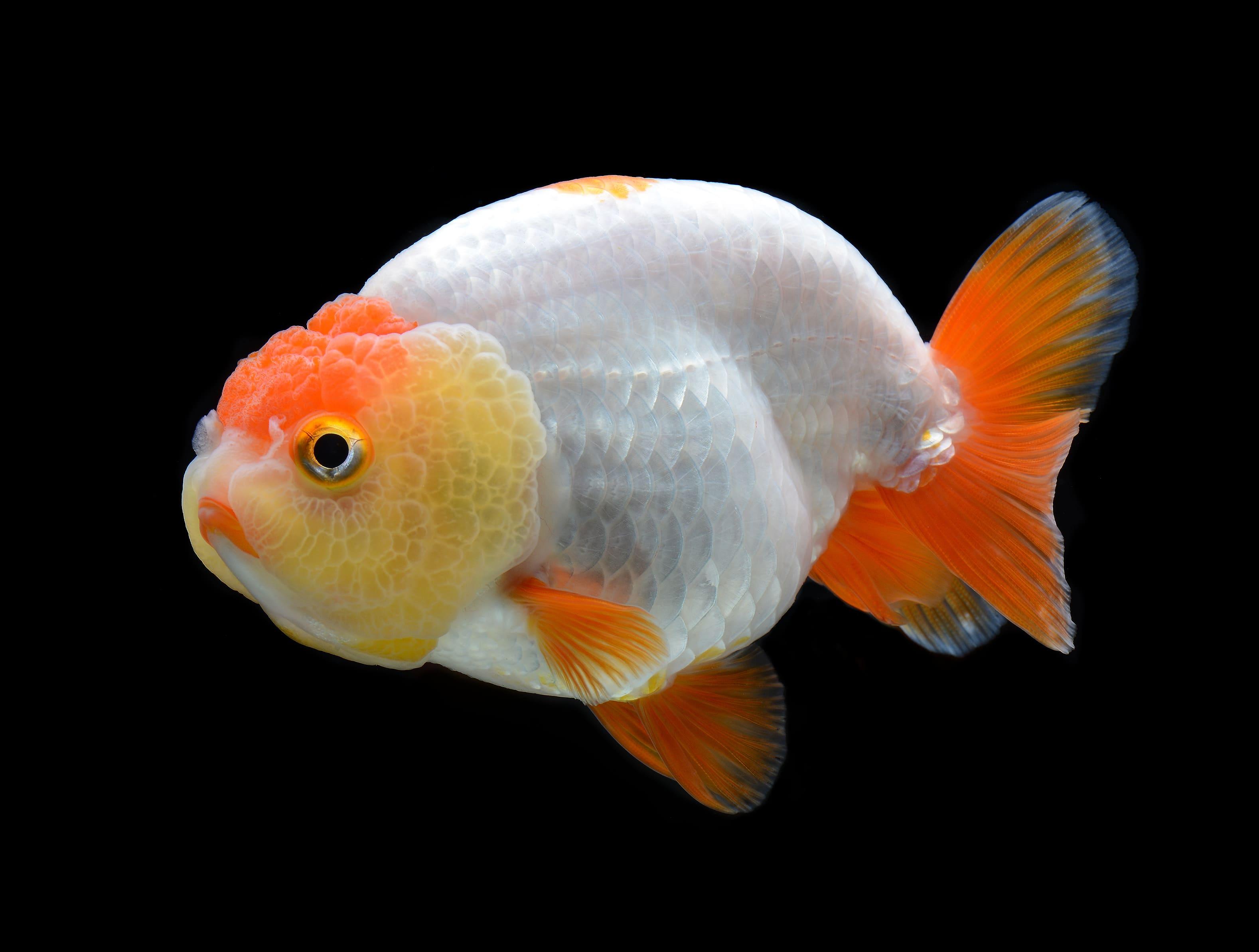 enfermedades de peces de acuario de agua fría