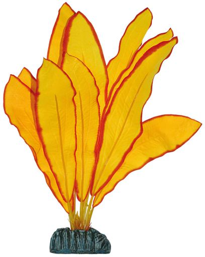 Echinodorus 30 cm Aquatic Plants